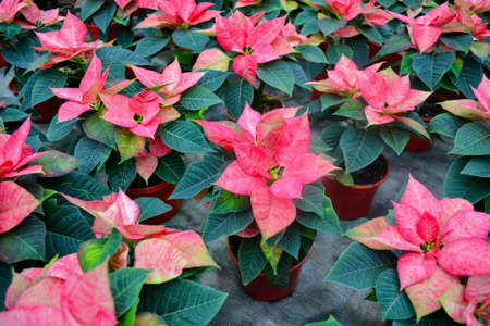 Flower carpet of bright pink with white poinsettia known as the Christmas or Bethlehem star with variegated leaves. Variety da vinci, jester or cortez pink. Festive and flower background.