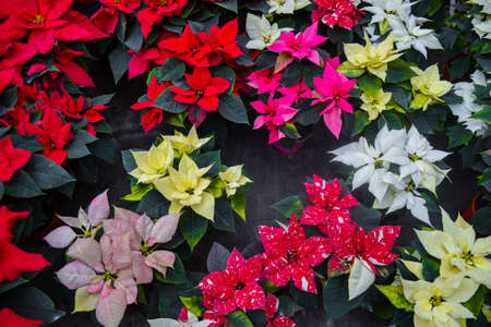Carpet of colorful bright colors poinsettia red, yellow, orange, white, two-color, variegated leaves. Different varieties are presented. Christmas sale in greenhouse, flower shop. Festive background.