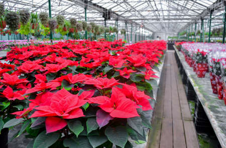 A huge number of bright red poinsettia flowers at the Christmas sale in the greenhouse of the flower shop. on the right - the same flowers in a festive package. On a blurred background other bright plants. Stock Photo