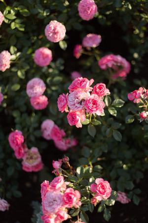 lviv: spray lush pink roses Stock Photo