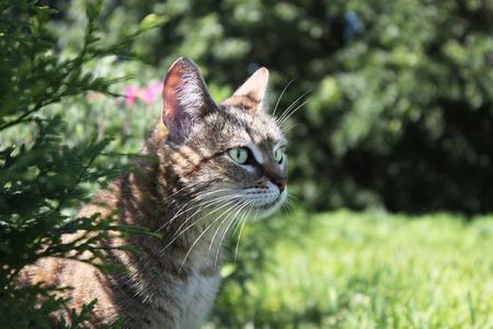 ambush: cat sits in ambush in the grass