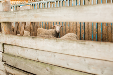 lambs in the pen in the village 版權商用圖片