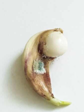 black spores and green mold on sprouted clove of garlic