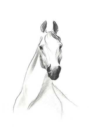 one of a kind: Portrait of horse on white background, by pencil painted Stock Photo