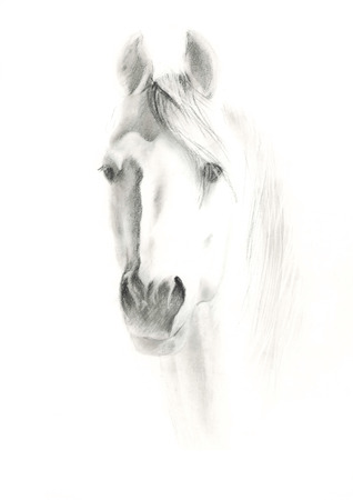 black and white farm animals: Portrait of horse on white background, by pencil painted Stock Photo