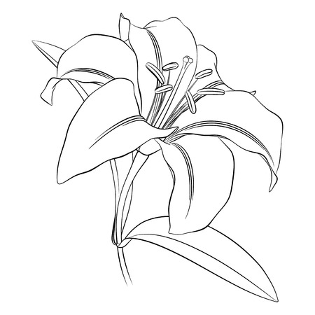 Black outline of a lily flower on a white background, for coloring Illustration
