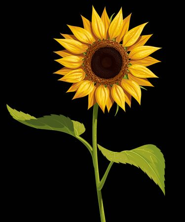Sunflower flower with stem and leaves, vector isolated drawing on a black background