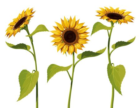 Three sunflower flowers with stems and leaves isolated on a white background Иллюстрация
