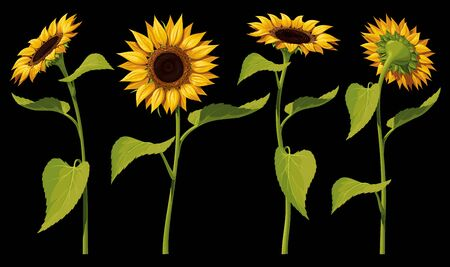 A set of four isolated sunflower flowers with leaves and stems, in different angles, on a black background. Vector illustration.