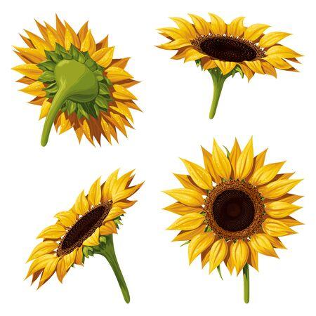 Quatre fleurs de tournesol sous différents angles, illustration vectorielle isolée sur fond blanc.