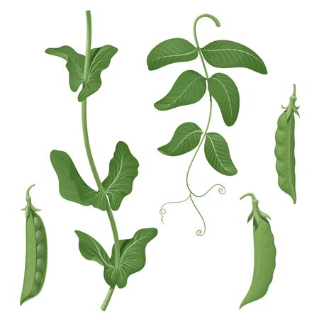 Green peas. Set of isolated vector images of plant elements, pods, leaf and stem, on a white background.