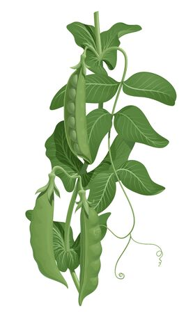 Three fresh green pea pods on a stem with leaves, vector illustration isolated on white background Illusztráció