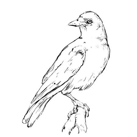 birds on branch: Hand drawn crow jn a branch. Birds doodles sketch. Illustration