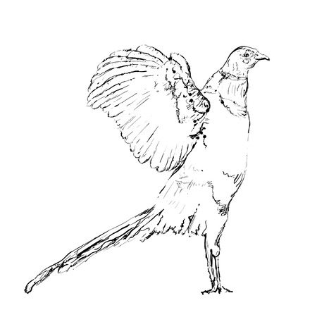pheasant: Hand drawn doodles bird. Pheasant sketch of the lines. Illustration