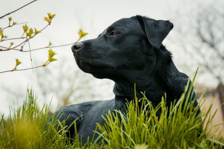 black labrador retriever on grass. big black dog labrador retriever adult purebred lab in spring summer green park on the grass, took the scent