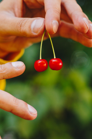 man holds in his hand two cherries for a twig on the background of trees in the park and green grass. sunny day, summer. fruit closeup