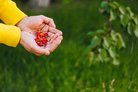a man's hand is holding a freshly picked ripe fruit of a red sweet cherry with sprigs and a vinelet on a background of grass. close-up. summer. on blurred background