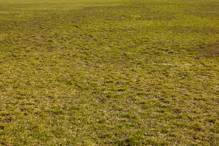field of green fine grass on the ground. short lawn. background texture closeup.