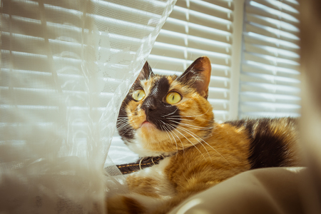 tricolor cat lies on the windowsill. beige Curtains, white tulle, windows closed by roller shutters. closeup pet chill on a sunny day