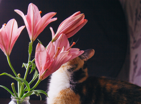 bouquet of pink lily flowers in the rays of light on a black background in a glass bottle. fresh buds of a flowering plant close-up in a vase, copy space. studio shot with tricolor cat.