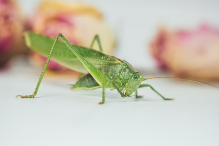 Locust or grasshopper on a white table close-up on a blurred background. live green harmful insect in macro. katydid. copy space.