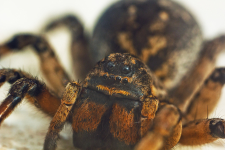 A big ugly bouncing spider tarantula is sitting on the ground on a white background. Eyes and fangs of an adult hairy wolf spider crawling close-up. macro.