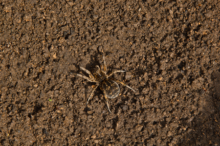 bouncing spider tarantula digs a hole in the ground. wolf spider nest making close up top view.
