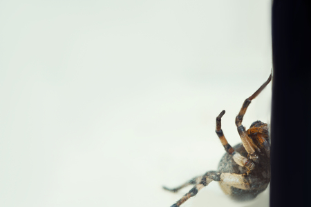 A big ugly jumping tarantula spider sits on the ground on a white background in an aggressive position. The eyes and fangs of an adult hairy wolf spider attack rawling close-up. macro.