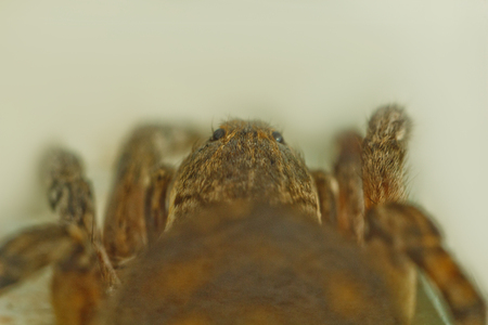 A big ugly bouncing spider tarantula is sitting on the ground on a white background. adult hairy wolf spider crawling close up macro.