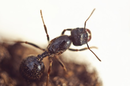shiny large black ant cervix close-up. crawling insect macro top view.