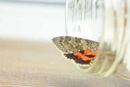 night butterfly with colored orange wings close-up indoor. crawling insect macro in a jar top view.