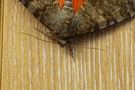night butterfly with colored orange wings close-up indoor. macro crawling insect on wooden rustic table top view.