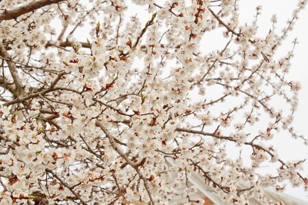 cherry blossom in the village against the white sky. spring landscape, the revival of nature. white flowers on a fruit tree.
