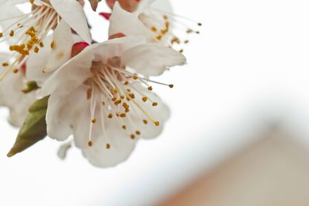herry blossom in the village against the white sky. spring landscape, the revival of nature. white flowers on a fruit tree. close up, macro. Stock Photo