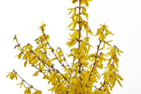 Forsythia bloom in the village after rain close-up. spring landscape, the revival of nature. yellow flowers on the olive tree.