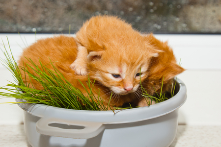 red newborn kittens sitting in a bowl on a white table without a mother. small blind pets close up.