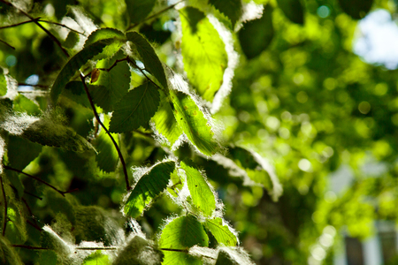 poplar fluff on the green leaves of a tree on a sunny day under the rays of light close up. summer allergy. 写真素材