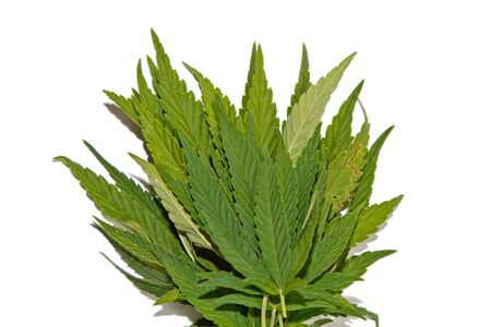 green hemp leaves isolated on white background top view. cannabis bush.