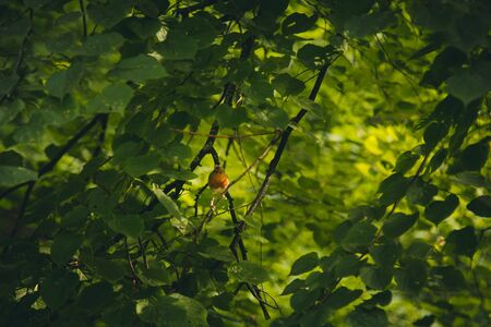 a small bird sits on a branch in dense thickets. forest plants in the summer. wildlife landscape.