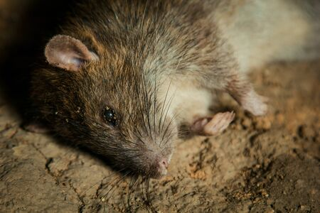 a big dead rat lies on cracked ground. pest and rodent poisoned by animal poison