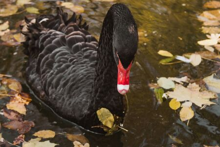 a black swan swims on a lake with yellow leaves on a beautiful autumn, sunny day. the bird is cleaning its feathers
