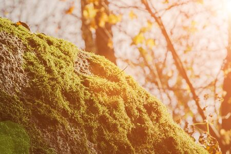 A rock covered with moss, which is illuminated by the suns rays. Against the background of autumn foliage Stock Photo