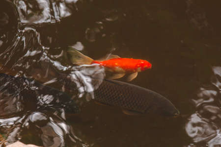 koi fish of various colors swim in a pond in clear water Banco de Imagens