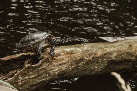 one slider turtle basking on a log under the sun, floating in the water, looking directly at the audience
