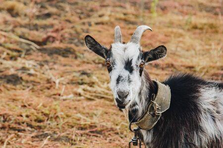une chèvre noire et blanche avec des cornes poussant en laisse broute dans le champ. protection des animaux, animaux laitiers