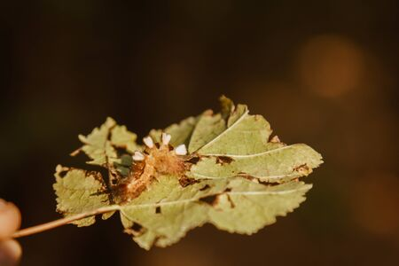 fluffy, multi-colored caterpillar eats a leaf from a tree. Pest of the forest