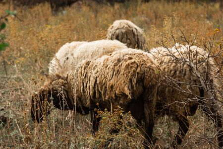 A flock of brown, white and black sheep graze in the field. Artiodactyls, woolen animals