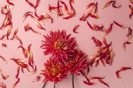 在桃红色背景的桃红色花。女性健康概念。参考温柔,关心和善良