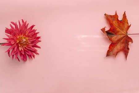 pink flower on a pink background. female health concept. A reference to tenderness, care and kindness. Summer versus Autumn Banco de Imagens