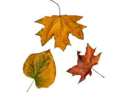 Colorful autumn tree leaves on a white isolated background. Multicolored autumn pattern